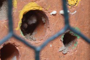 Mauerbiene sitzt in Niströhre vom Bienenstein.