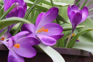 Blühende Krokusse im Blumentopf