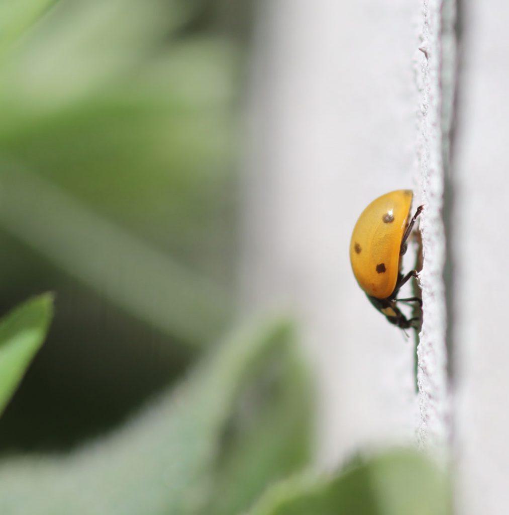 Frisch geschlüpfter Siebenpunkt-Marienkäfer (Coccinella septempunctata)