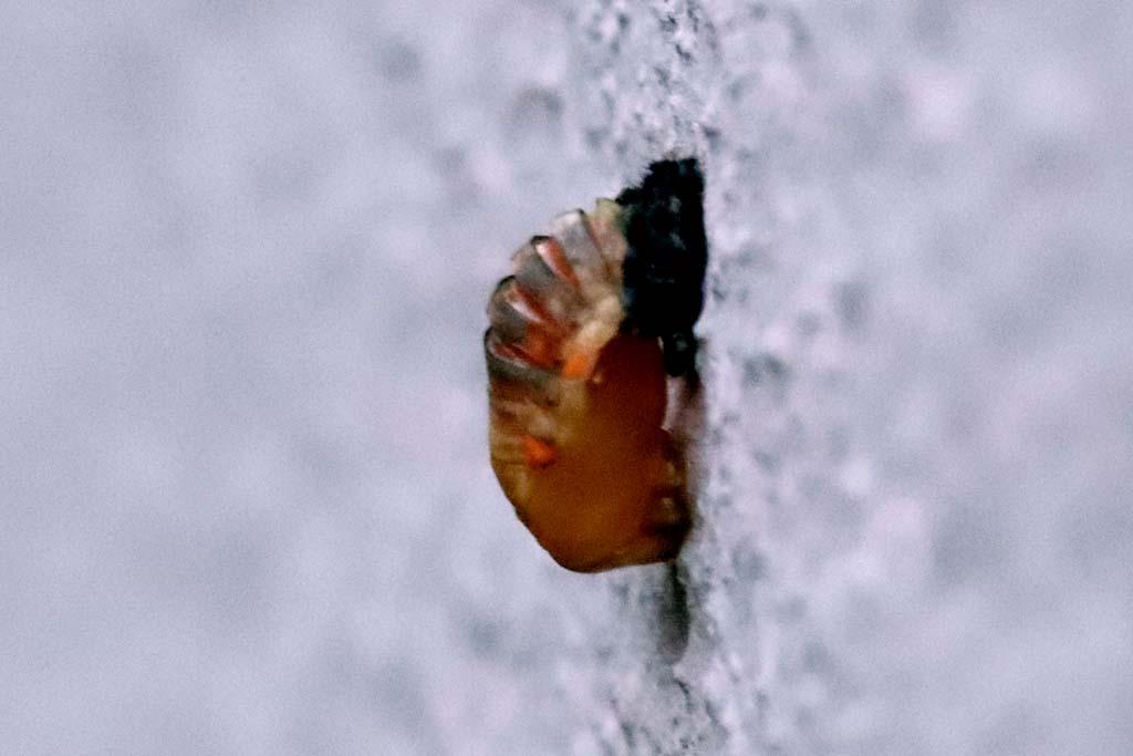 Verpuppte Marienkäferlarve