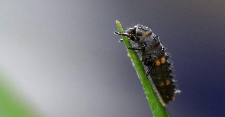 Lave eines Siebenpunkt-Marienkäfers auf einem Blatt (Coccinella septempunctata)