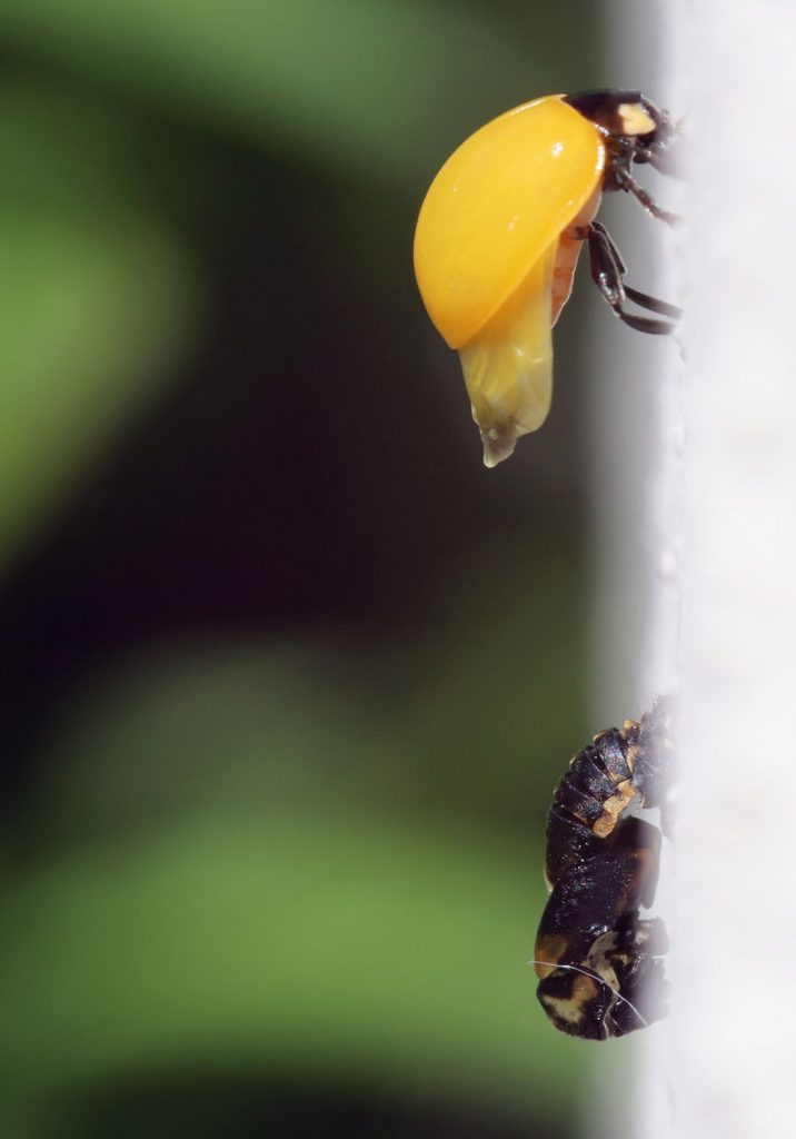 Siebenpunkt-Marienkäfer trocknet Flügel