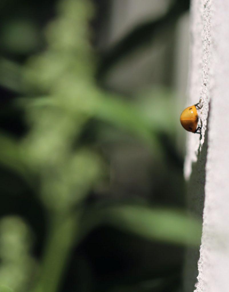 Frisch geschlüpfter Siebenpunkt-Marienkäfer