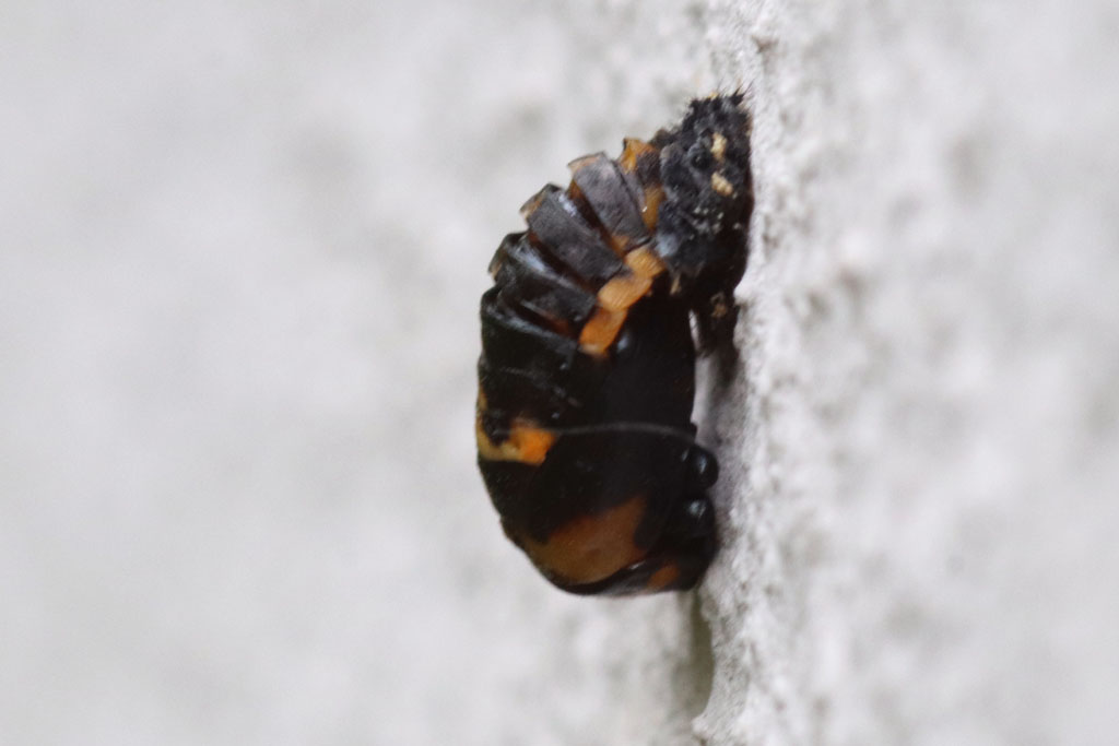 Verpuppte Marienkäferlarve an Hauswand