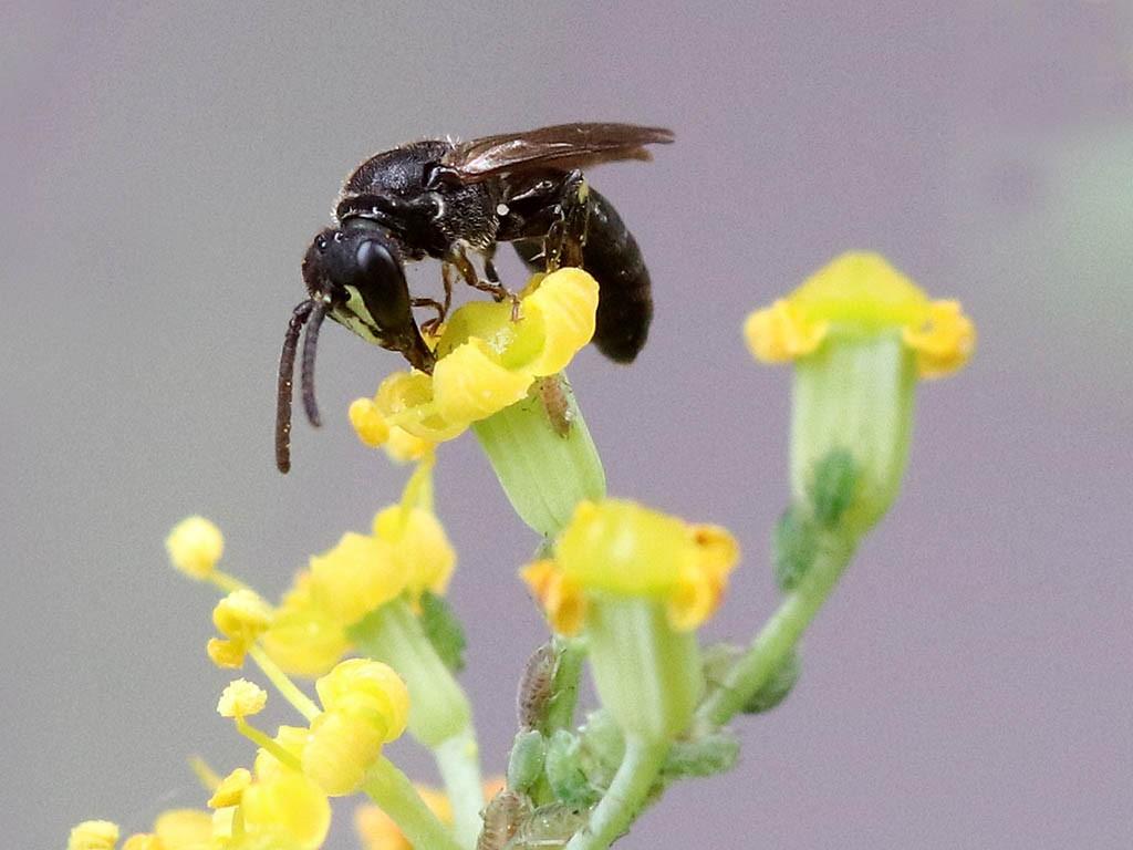 Maskenbiene auf Blüte