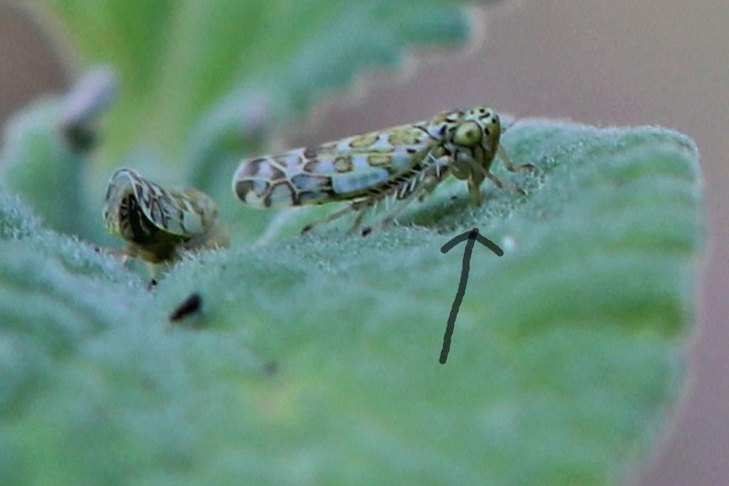 Zikade sticht in ein Blatt und saugt
