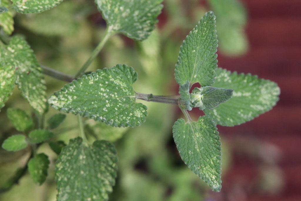 Katzenminze mit Saugspuren der Zikade