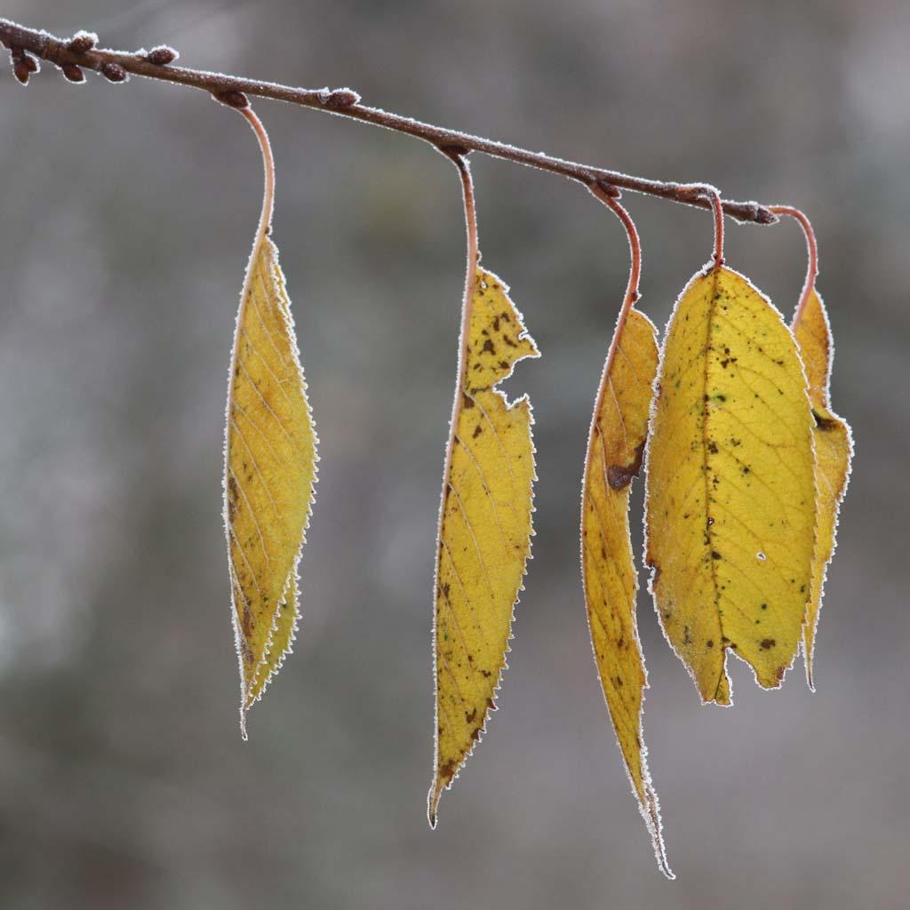 Blätter mit Eiskristallen