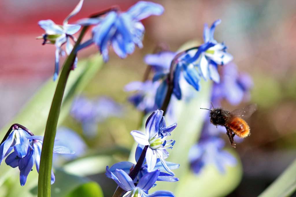 Mauerbiene an Scillablüte