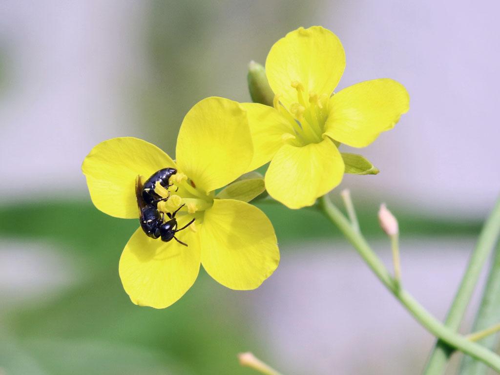 Maskenbiene auf Rucola-Blüte
