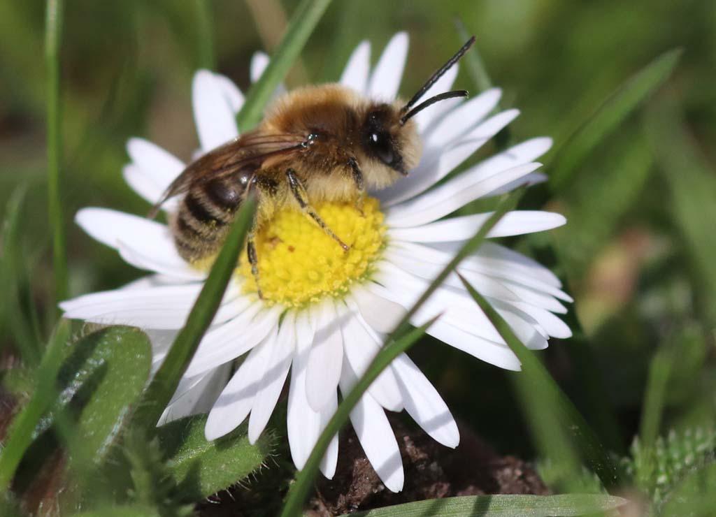 Wildbiene auf Gänseblümchen