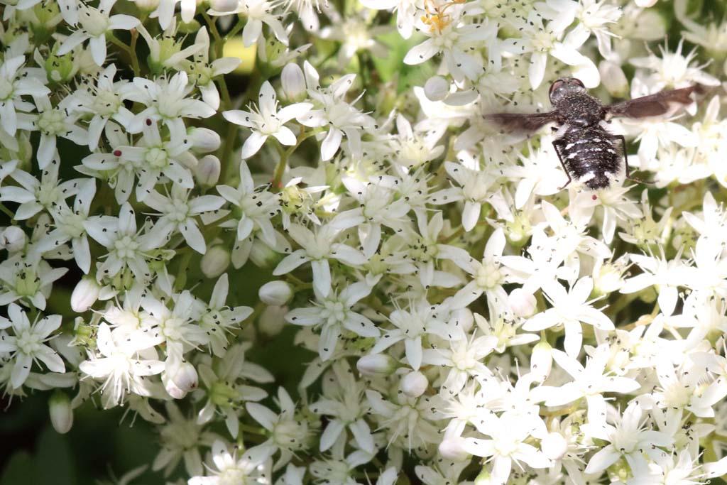Blühender Mauerpfeffer