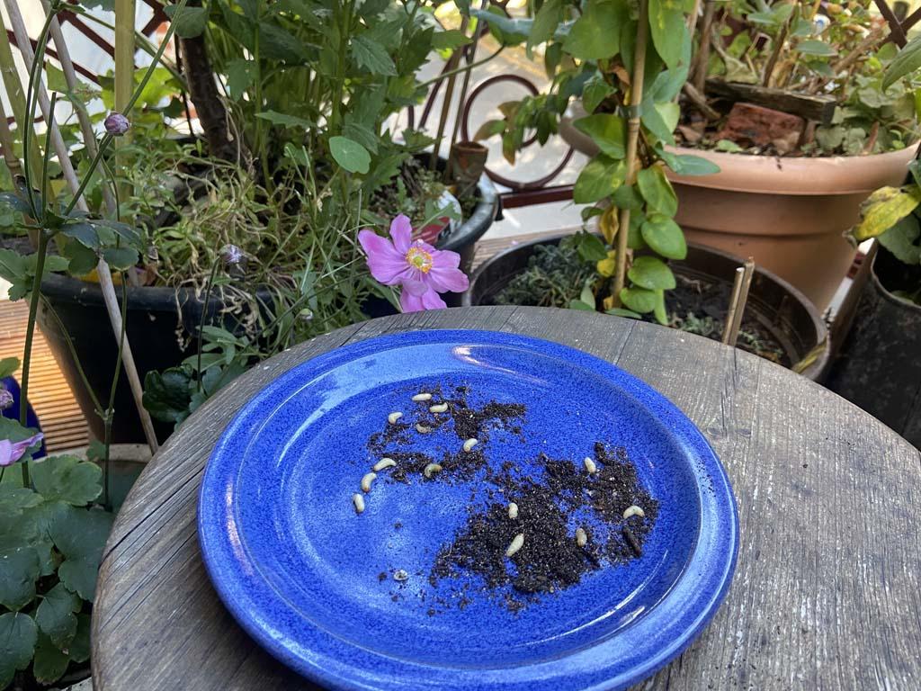 Engerlinge auf einem Teller