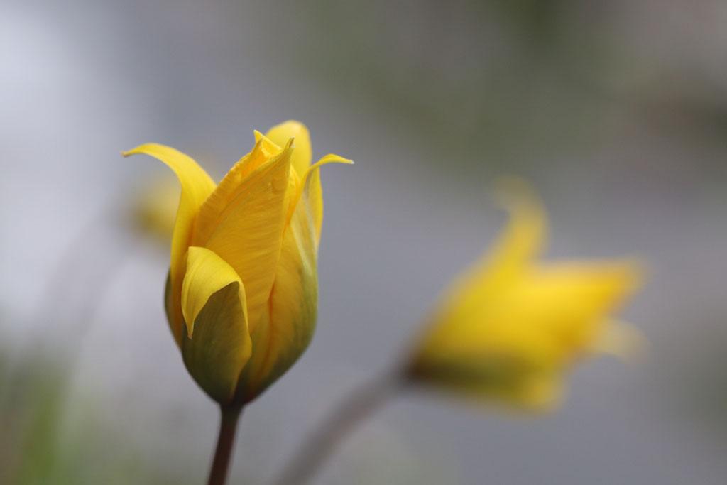Blühende Wildtulpen