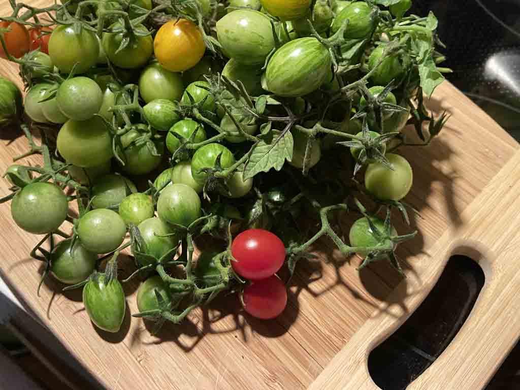 Grüne Tomaten zum Nachreifen