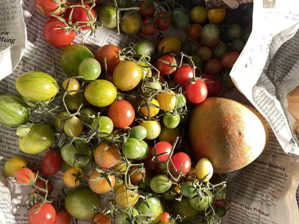 Tomaten reifen nach