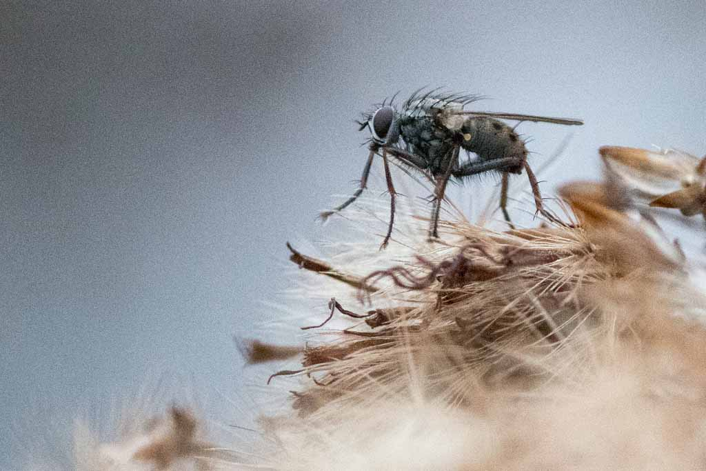 Faszination Markofotografie: Fliege auf vertrockneter Pflanze