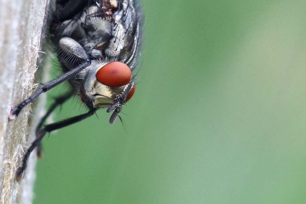 Faszination Makrofotografie: Kopf einer Fliege
