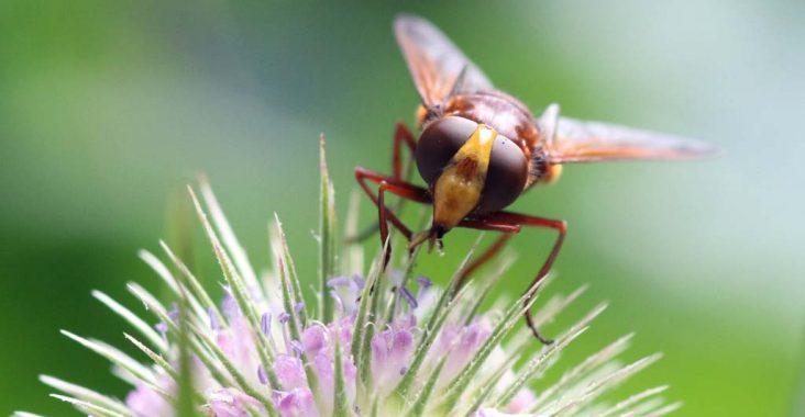 Hornissenschwebfliege von Frontalansicht