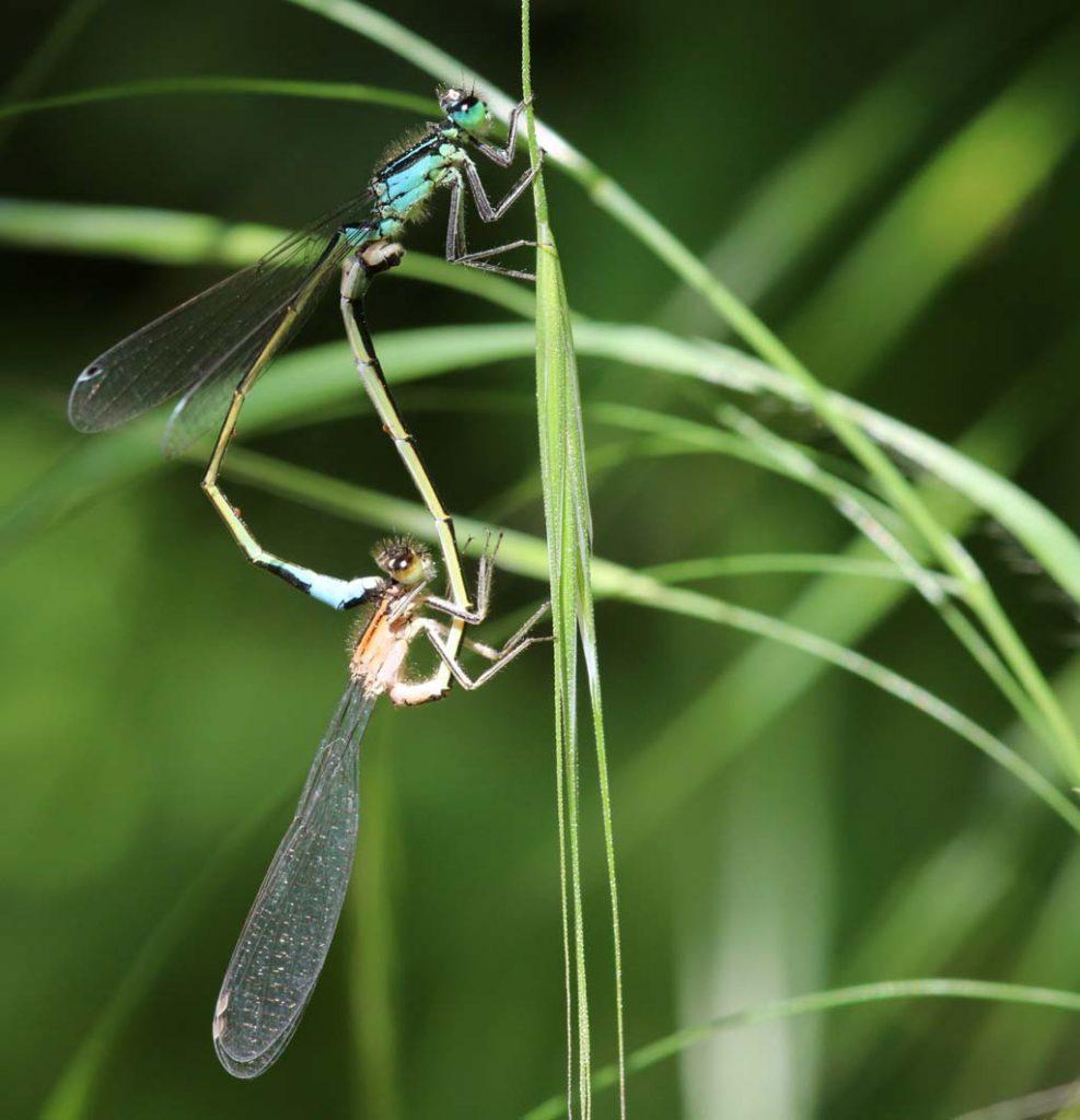 Libellen an einem Grashalm