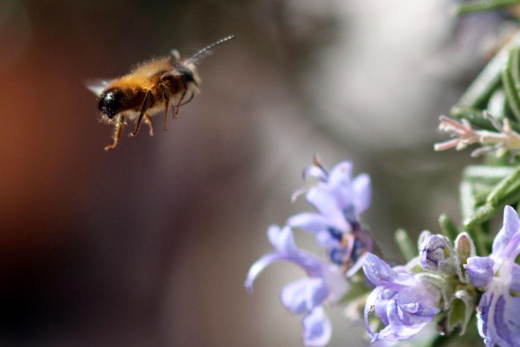 Fliegende rostrote Mauerbiene