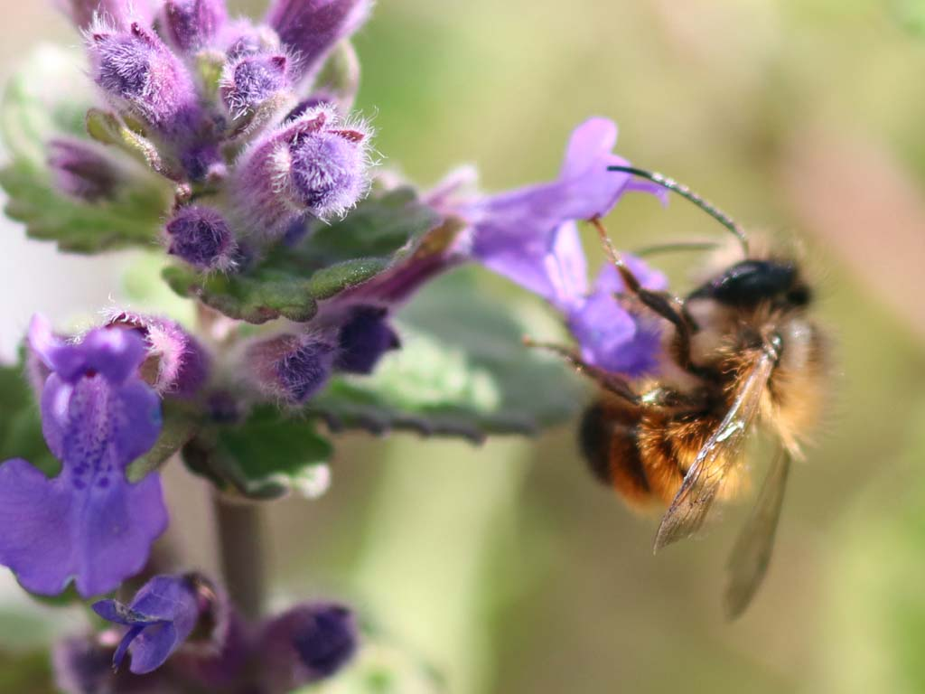 Rostrote Mauerbiene
