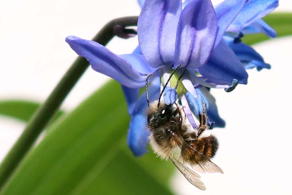 Rostrote Mauerbiene an Scilla