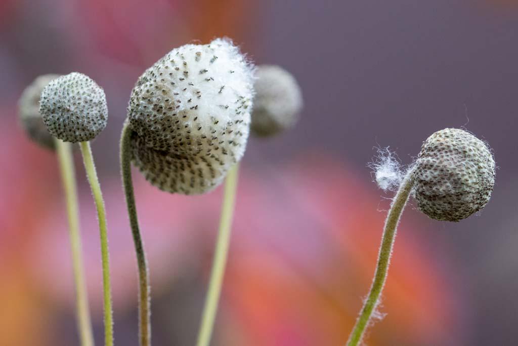 Der Samenstand der Herbstanemone