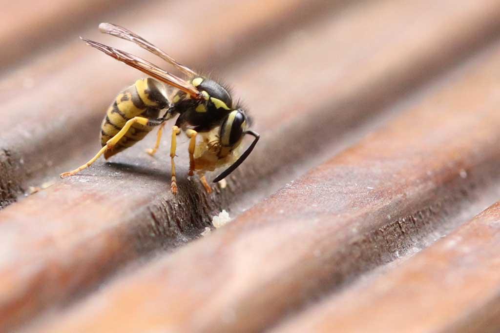 Eine Wespe holt sich Essensrest