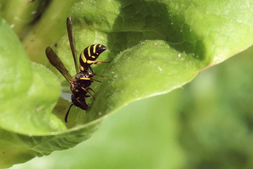 Auch Wespen trinken Wasser