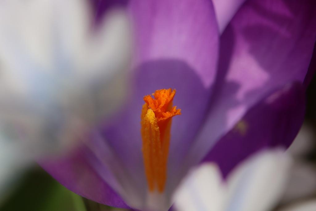 Krokusblüte in Lila