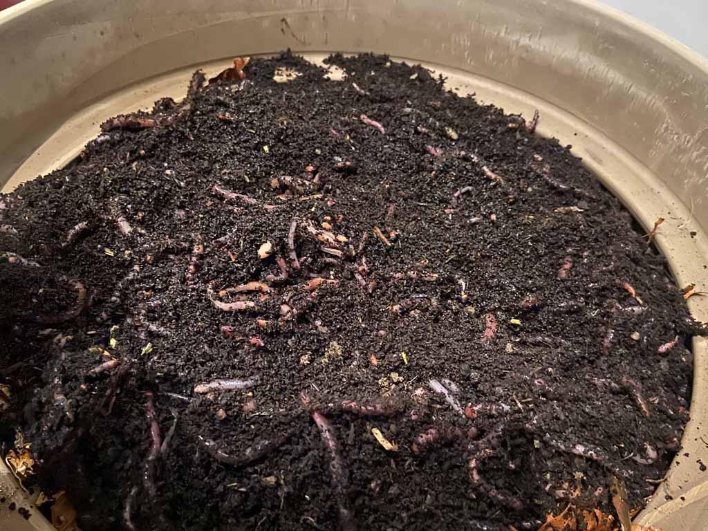 Kompostwürmer