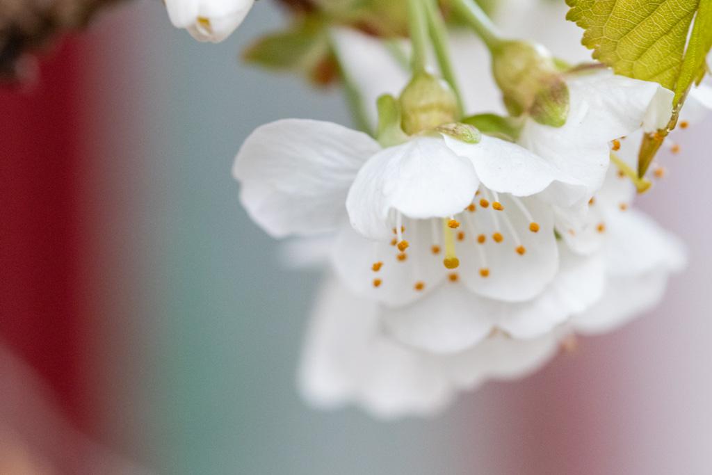 Kirschblüte auf dem Balkon